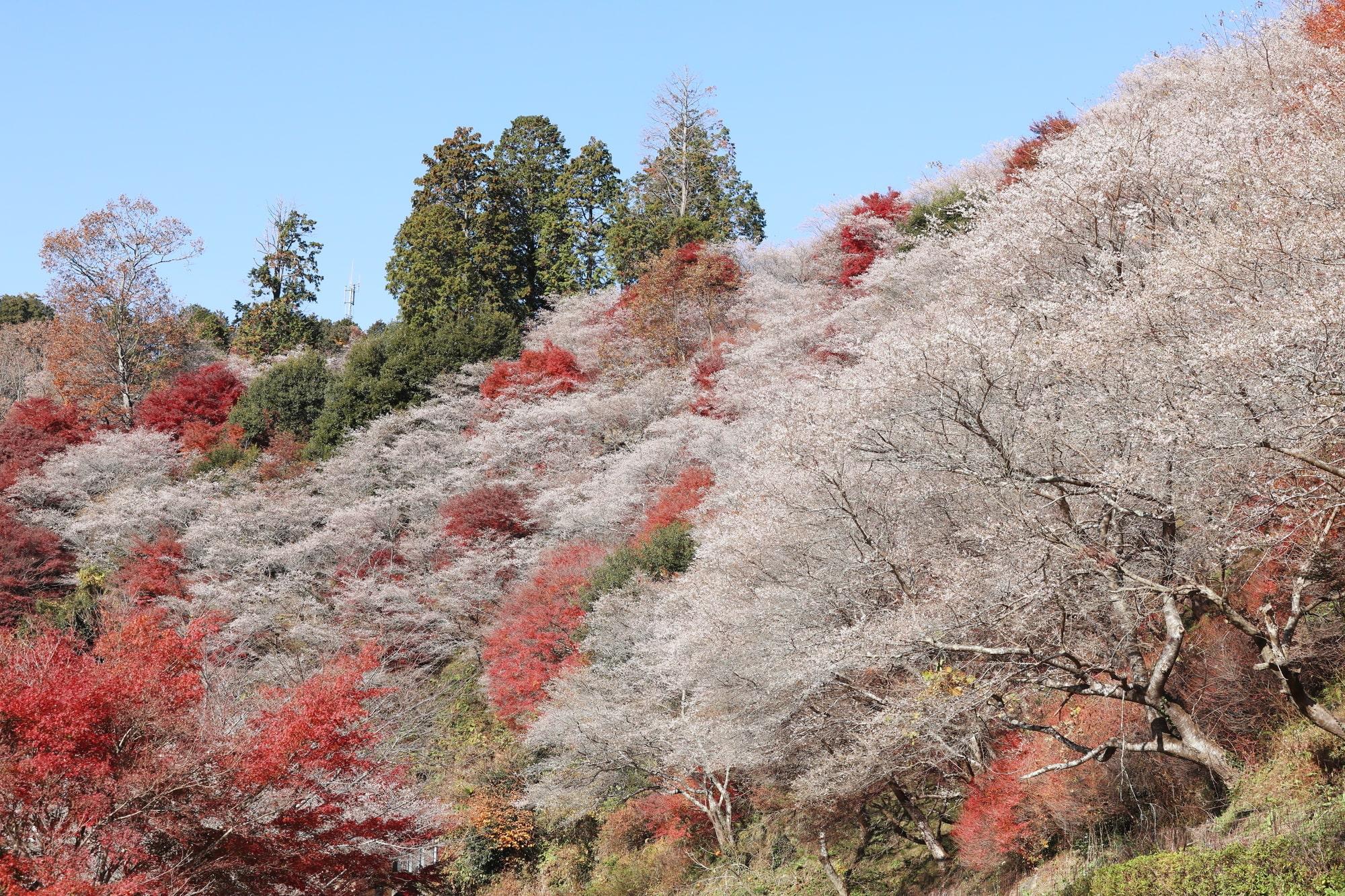 秋には紅葉と桜が混ざり合い調和