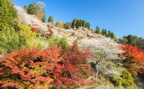 小原町の四季桜