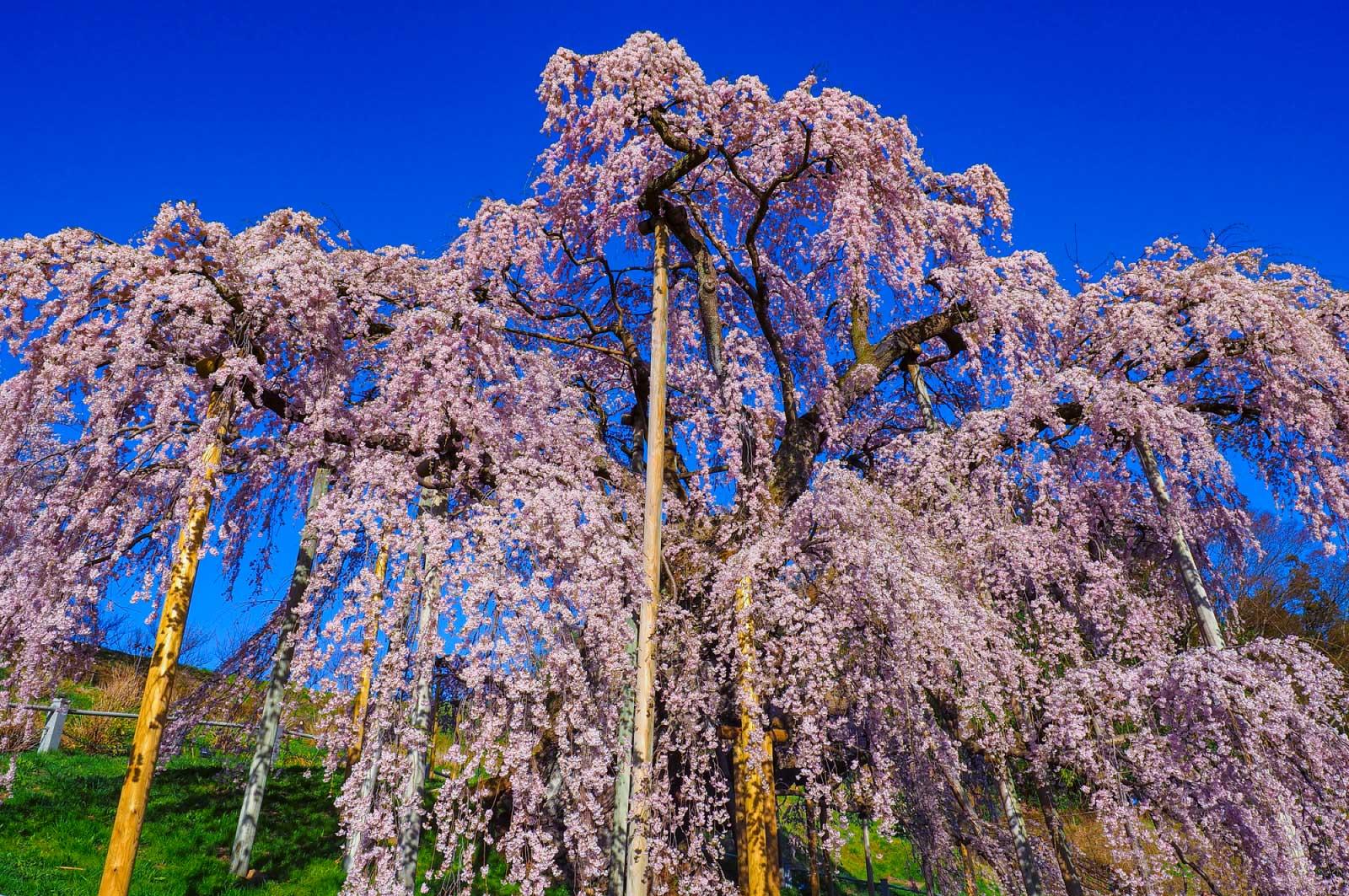 四方八方に伸びた枝から桜が枝垂れている