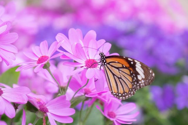 チョウの生態展示