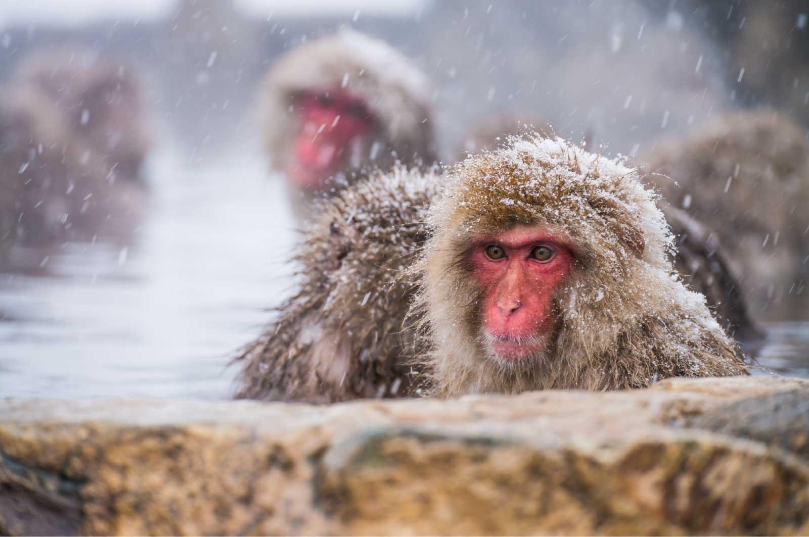 地獄谷野猿公苑は、国際的にも非常に有名な観光名所