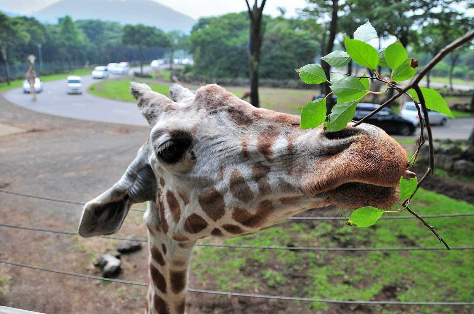富士サファリパークなら自分の車で園内を巡ることが可能