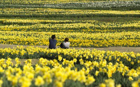 黄色い水仙が20万本