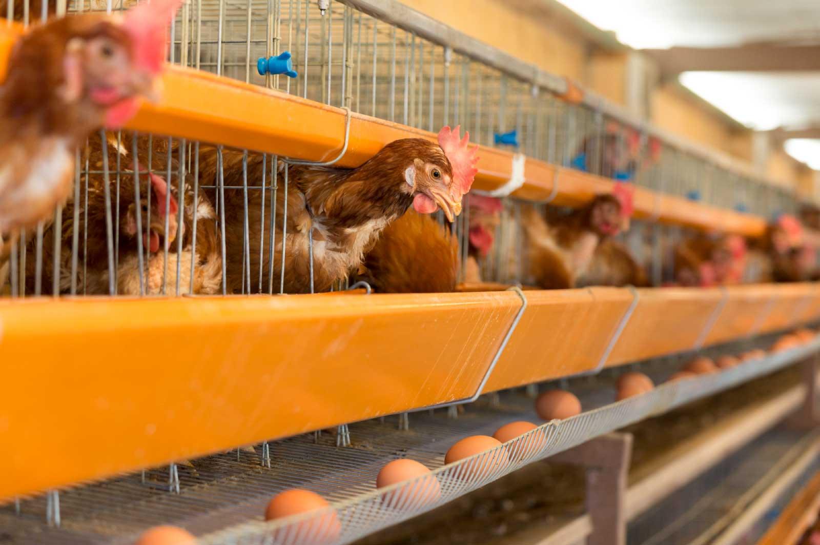 豊橋は鶏卵の産地としても有名な地