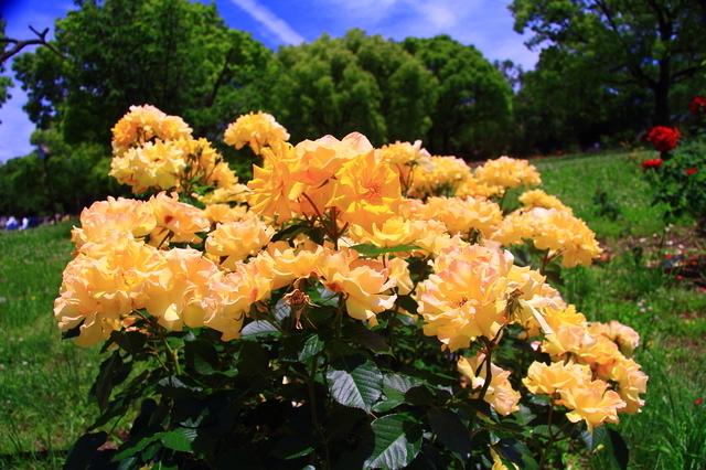 尼崎農業公園に咲くバラの花