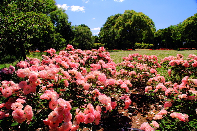 尼崎農業公園のピンクのバラ