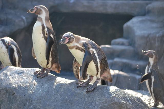 ペンギン(福山市立動物園)