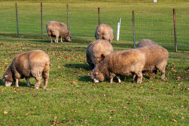 さっぽろ羊ヶ丘展望台の羊たち