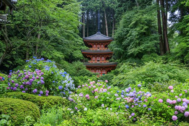 岩船寺と紫陽花(京都)