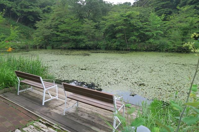 ヒツジグサの池(六甲オルゴールミュージアム)