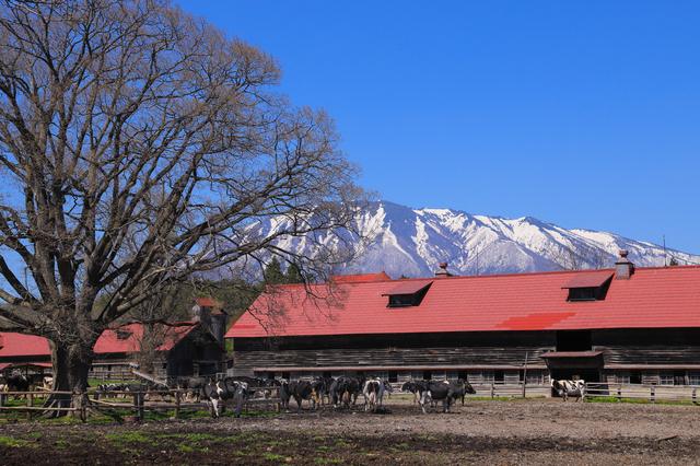 小岩井農場の牛舎