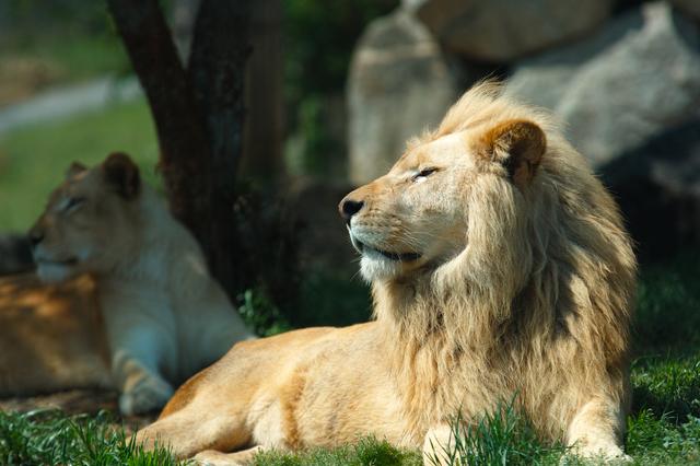 岩手サファリパークのライオン