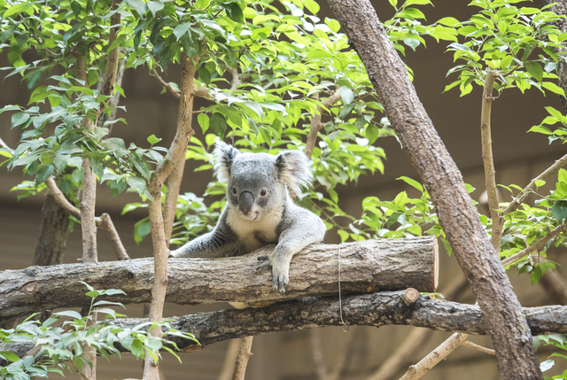 動物園のコアラ