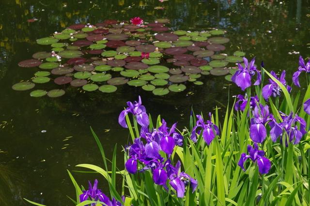 モネの庭のカキツバタ