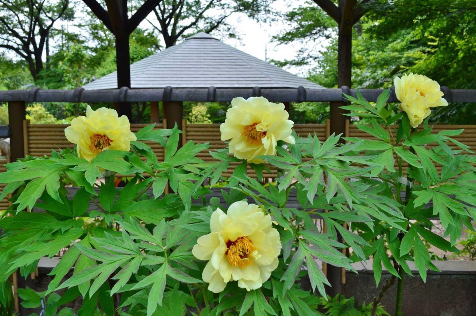 町田ぼたん園に咲くぼたんの花