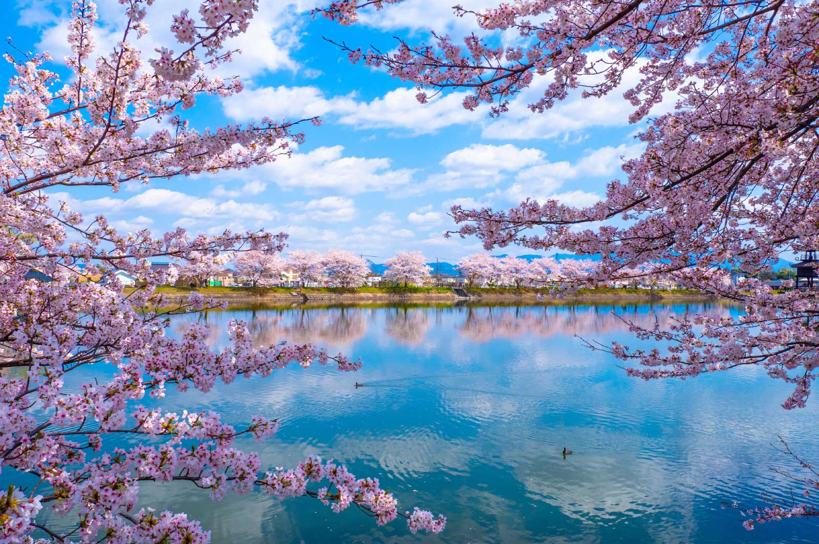唐古・鍵遺跡史跡公園(奈良)の桜