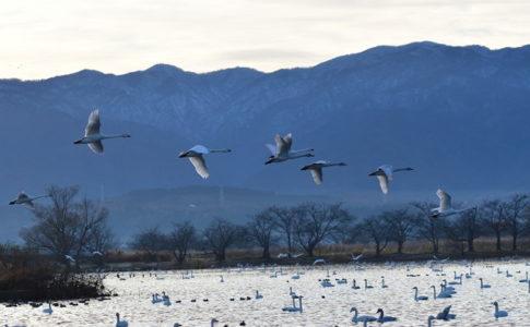 瓢湖と白鳥