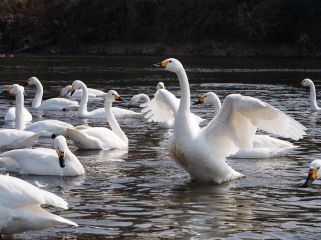 白鳥と瓢湖