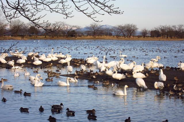 阿賀野市にある瓢湖