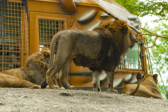 ジャングルバスとライオン