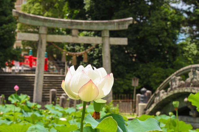 岡崎・伊賀八幡宮の蓮