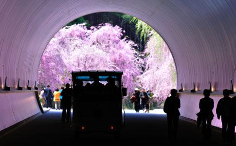 ミホミュージアムの桜のトンネル