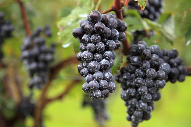 山形でブドウ栽培