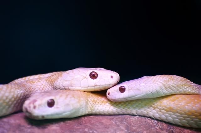 1972年にはシロヘビそのものが国の天然記念物にも登録