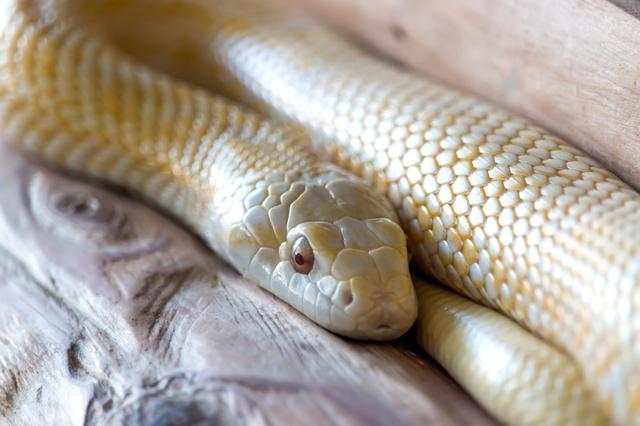 シロヘビは非常に希少