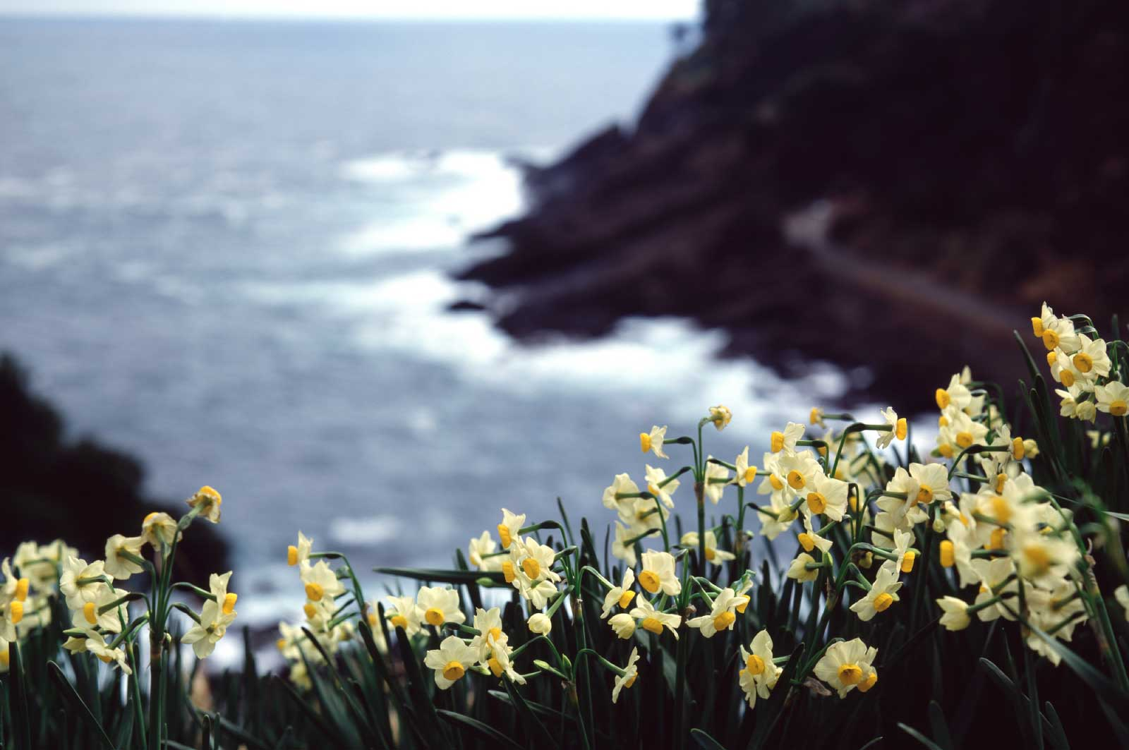 越前岬と水仙