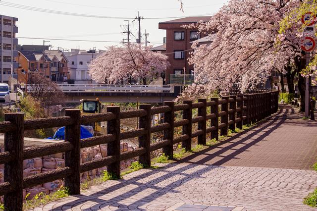大阪・豊中の桜並木