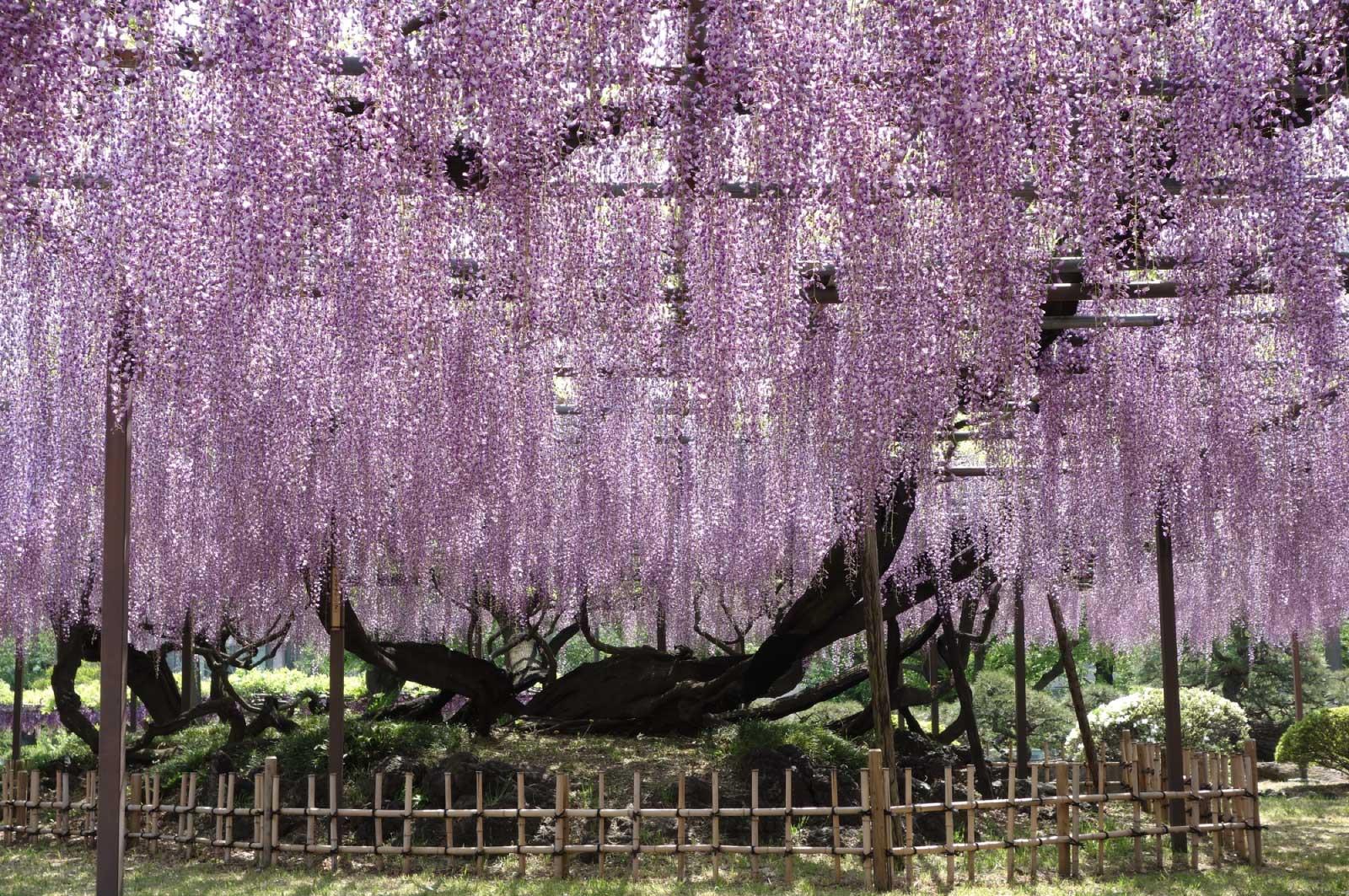 枝垂れ落ちる様と美しい紫色