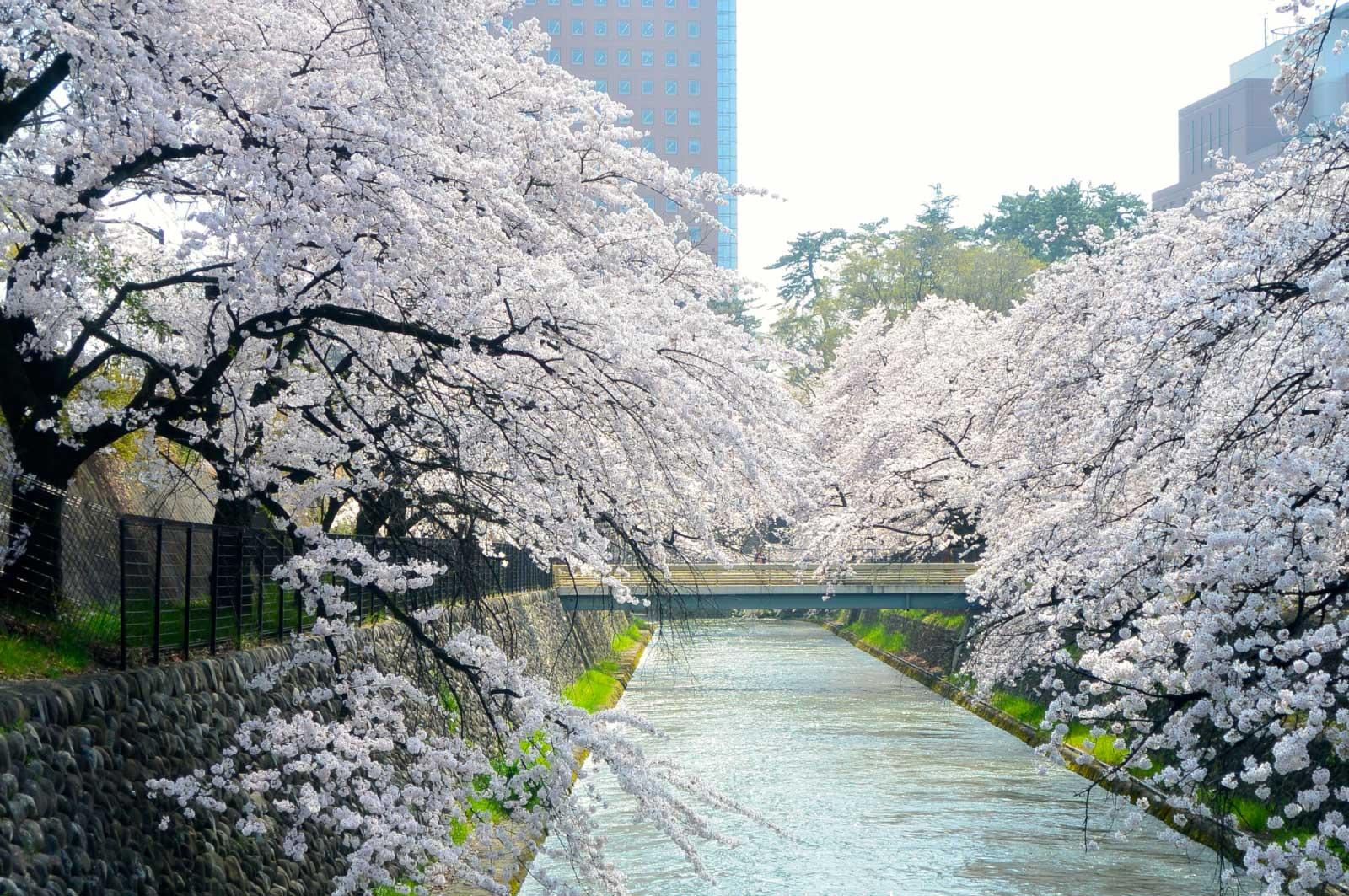 桜好きなので毎年花見にはいく