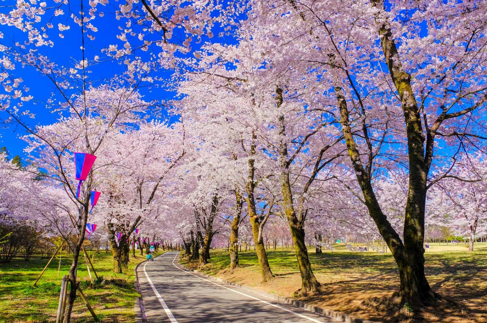 桜祭りも2週間