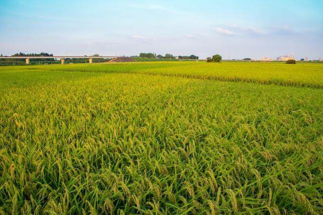 収穫期の田んぼ