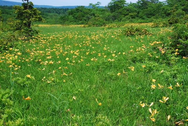 世界谷地に咲くニッコウキスゲ