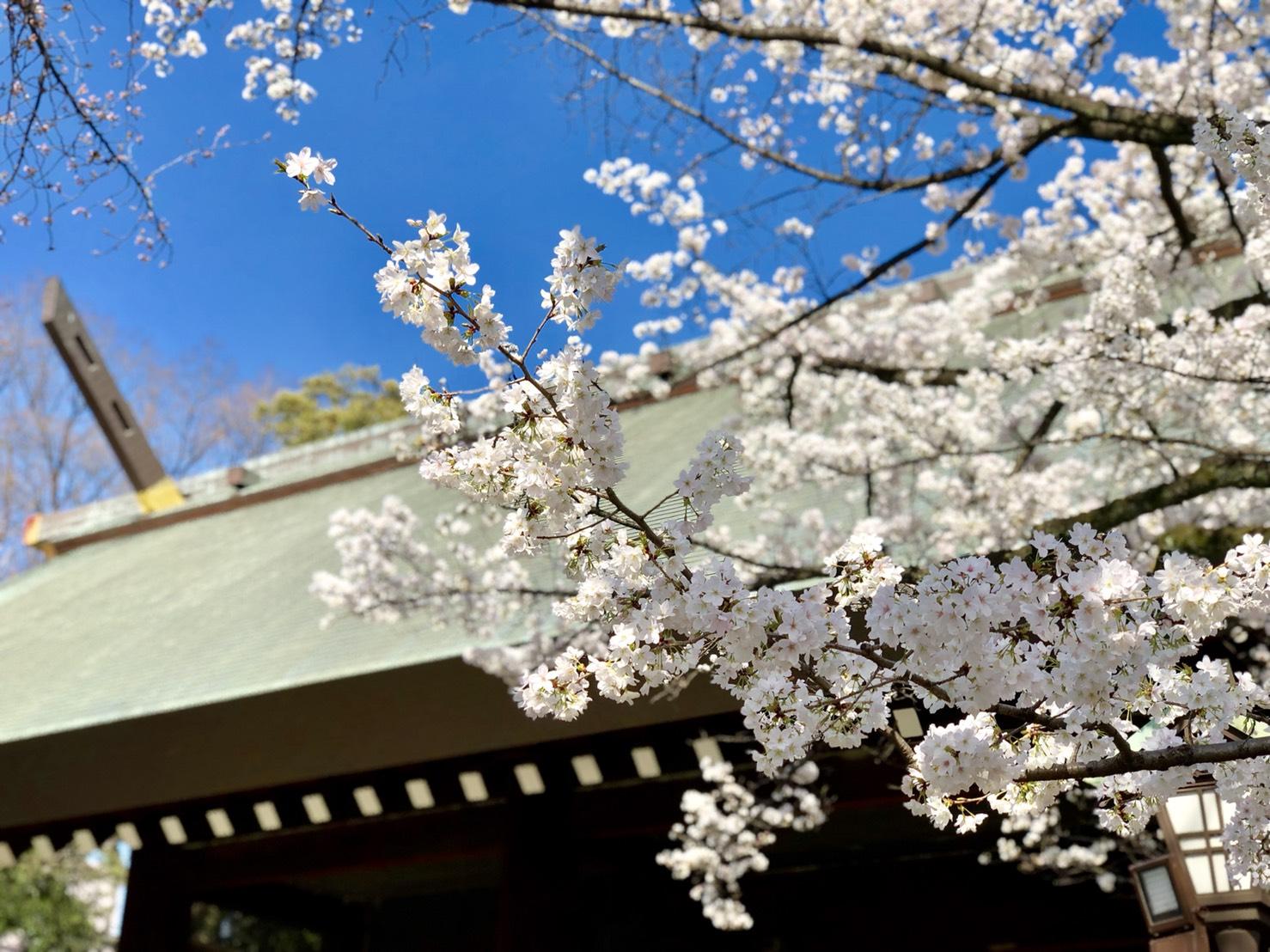 神門付近の桜