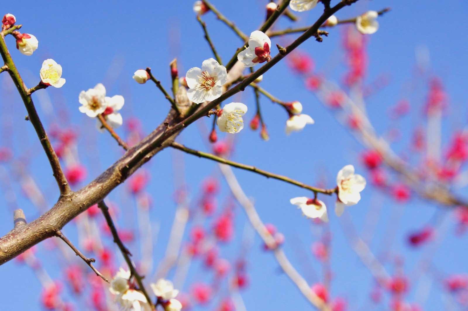 和歌山で見た梅の花