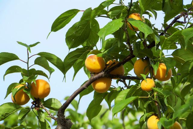 和歌山の梅の木