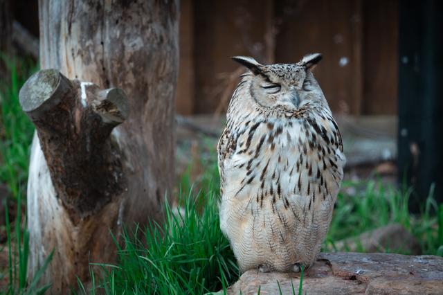 旭山動物園のフクロウ
