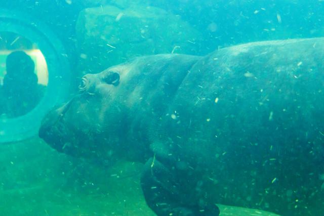 水中を移動するカバ