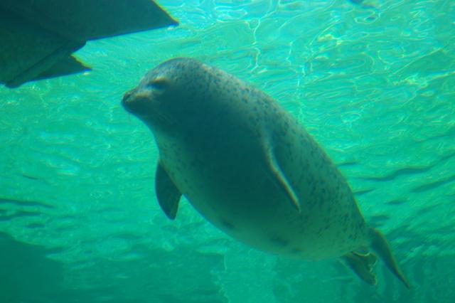 アザラシの泳ぐ姿(旭山動物園)