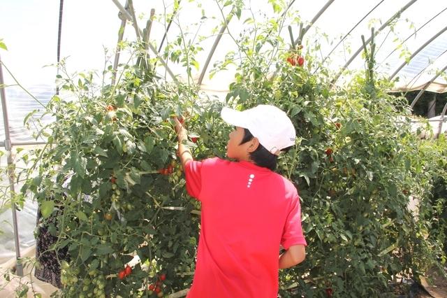 トマトを収穫する息子
