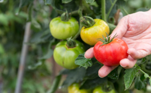 お気に入りのトマトを収穫