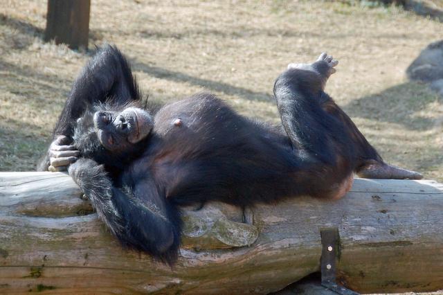 豊橋総合動植物公園のチンパンジー