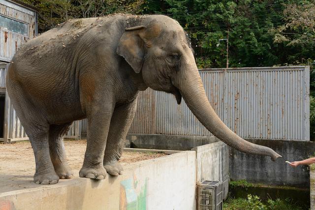 宇都宮動物園のゾウ