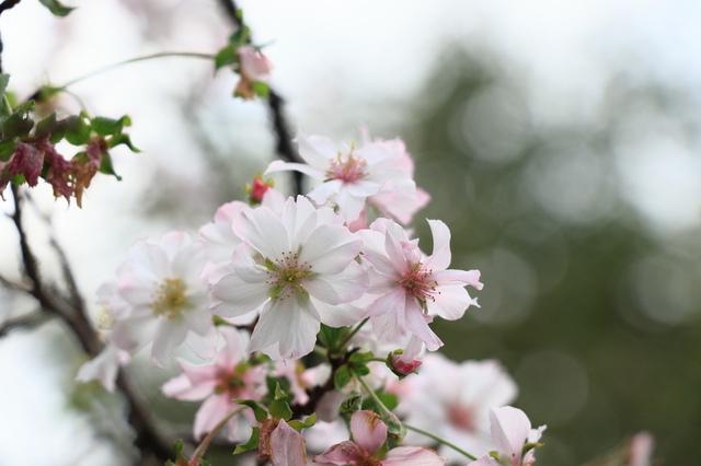ジュウガツザクラ(高知県立牧野植物園)