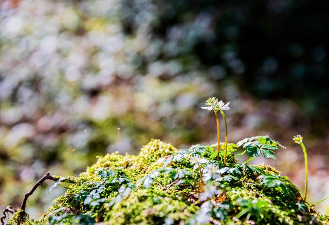 バイカオウレン(高知県立牧野植物園)