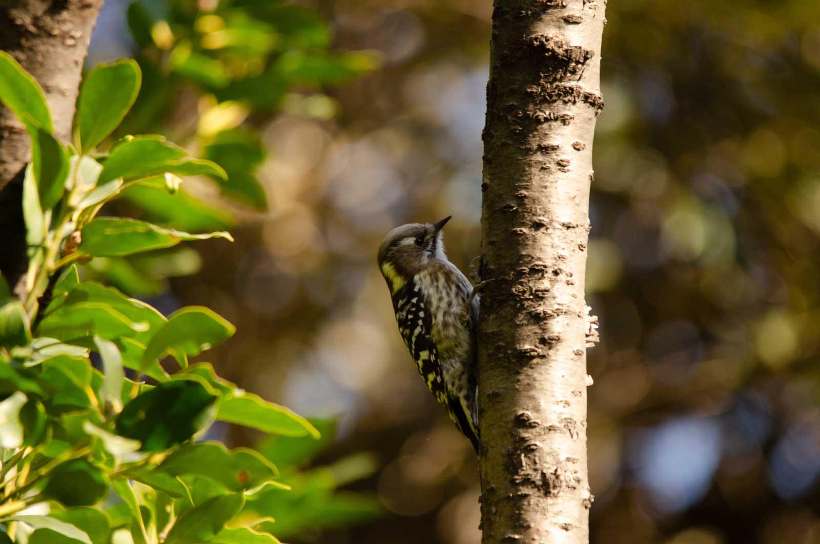東京港野鳥公園で見たコゲラ