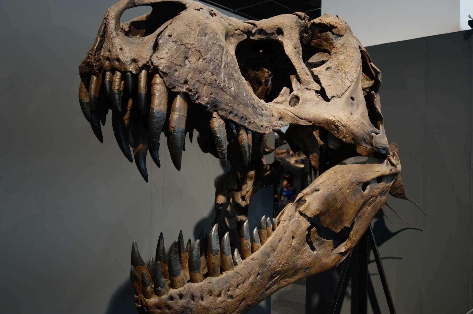 ティラノサウルスの化石(福井県立恐竜博物館)